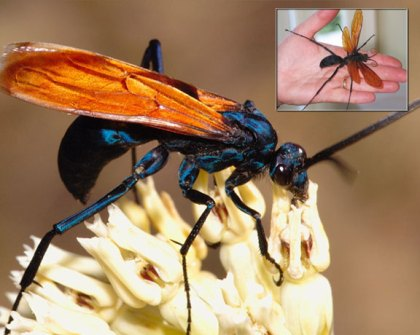 The Tarantula Hawk is the Desert Blonde Tarantula's worst enemy.